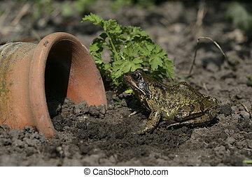 frosch, rana, temporaria, gemeinsam