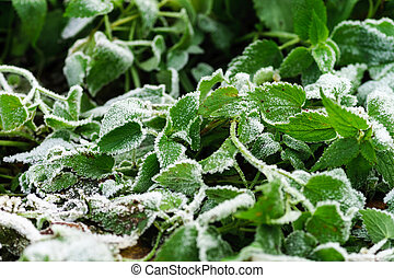 Frost and first snow on green leaves