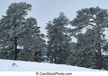 Frost and snow covered tree in the mountains