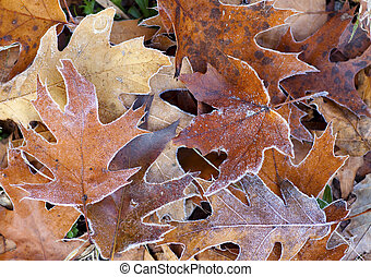 Frost Covered Autumn Tree Leaves