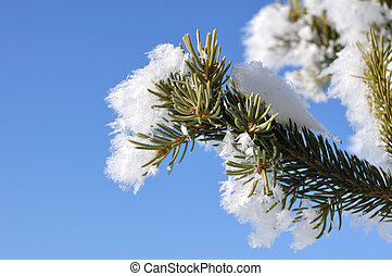 Frost Covered Spruce Tree Branch