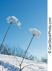 Frost covered withered flowers on a sunny day.