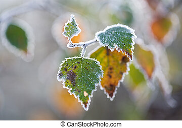 Frost fringed autumnal beech leaves