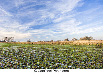 Frost on a green field with winter grain, white clouds on the sky