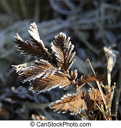 Frost on a herbs