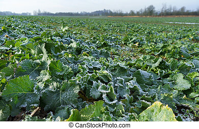 frost on a rapeseed field, agricultural planting early spring