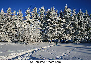Frost on Evergreens  - Beaten winter path to evergreens