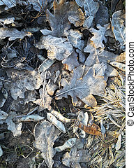 frost on fallen leaves. background of the cold season of the year. autumn winter.
