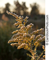 Frost on Goldenrod