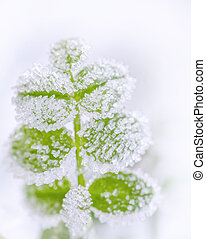Frost on green leaves close up