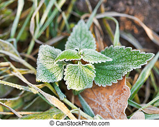 frost on green leaves of nettle in autumn