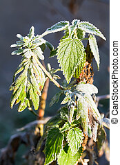 frost on green nettle leaves in autumn