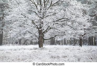 frost on oak tree in winter