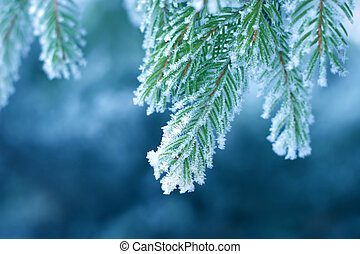 Frost on Pine - Pine tree covered with frost, blue toned