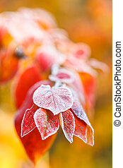frost on red leaves close up in autumn