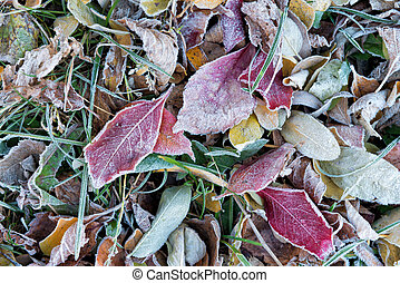 Frost on the autumn leaves