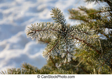 frost on the branches of fir