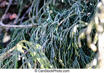 Frost on the branches of thuja closeup