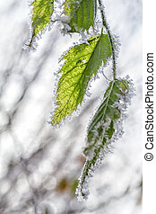 Frost on the leaves of birch. Winter season background.