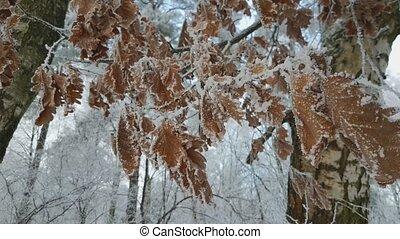 Frost on the oak leaves - Frost on the leaves of oak