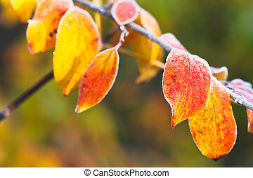 frost on yellow, red leaves in autumn
