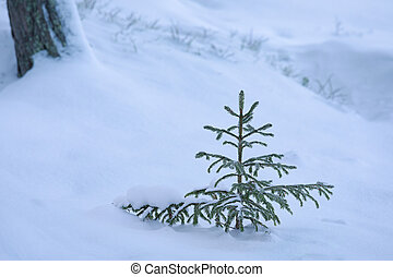 Frost spruce tree on snow at winter day