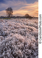 Frosted heather at sunrise in winter in The Netherlands -...