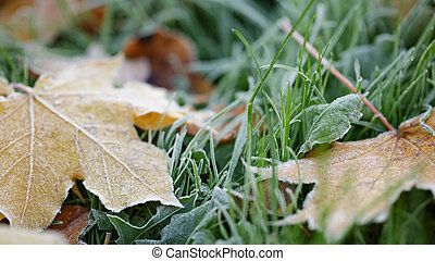 frosted maple leaves on grass, autumn time