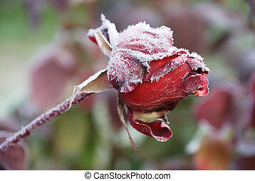 frosted rose - frosted red beautiful rose in the garden