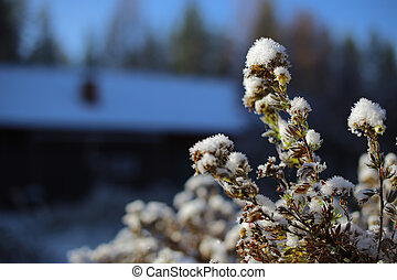 Frosted shrubby cinquefoil in front of barn