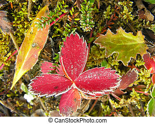 Frosted strawberry leaves, Yoho National Park, Canada