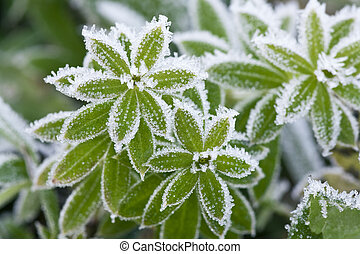 Green grass covered with hoarfrost