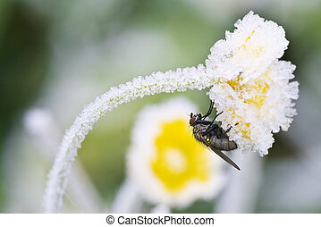 The fly sits on a flower which is covered by hoarfrost