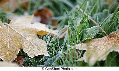 frostskadat, lönn leaves, på, gräs