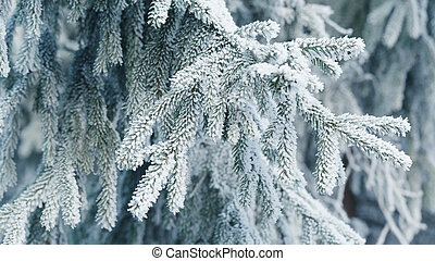 frosty fir twigs in winter covered with rime, closeup photo