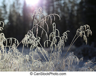 Frosty grass spikes in backlight in front of forest