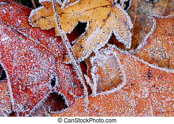Frosty leaves - Macro of autumn leaves on the ground covered...