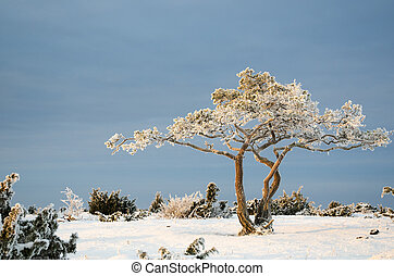 Frosty pine tree in a winter landscape