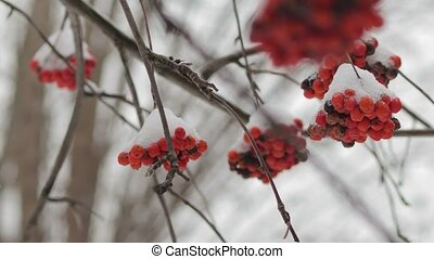 Frozen branches of mountain ash under the snow, close-up -...