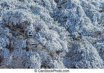 Frozen branches of the pine trees at sunny day time.