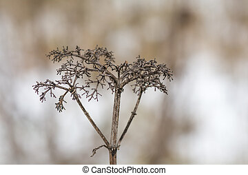 Frozen dry plant in snow. Dry brown plant, meadow in winter time and blurry background.
