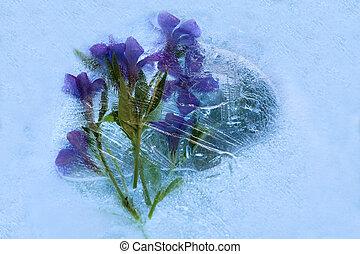 Frozen flower of phlox - Frozen fresh beautiful flower of ...