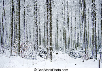 frozen forest in winter (ardennes belgium)