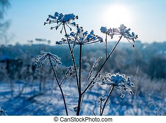 Frozen grass in snow