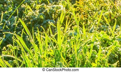 Frozen grass, macro timelapse