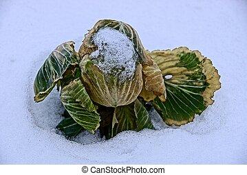 Frozen green cabbage head in white snow in the garden