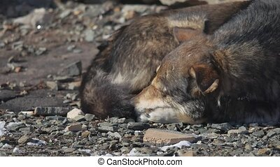 frozen homeless dogs lie on the ground. a pack of frozen...