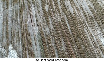 frozen in ice Wheat field after wintering in farmland, aerial view