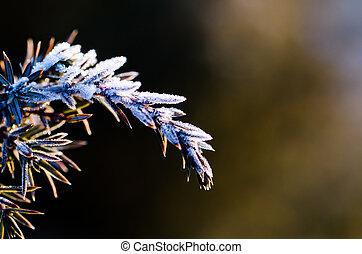Frozen juniper twig