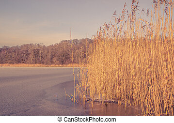 Frozen lake with reeds in the winter